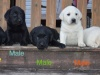 AKC Registered Labs - $600