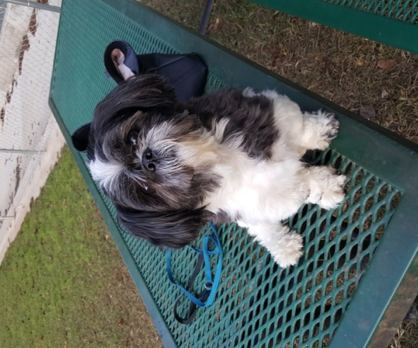 Looking For A Pure Bred Female Shi Tzu Pets And Animals In