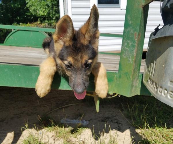 German shepherd pups for sale - $500 | Pets and Animals in Havana