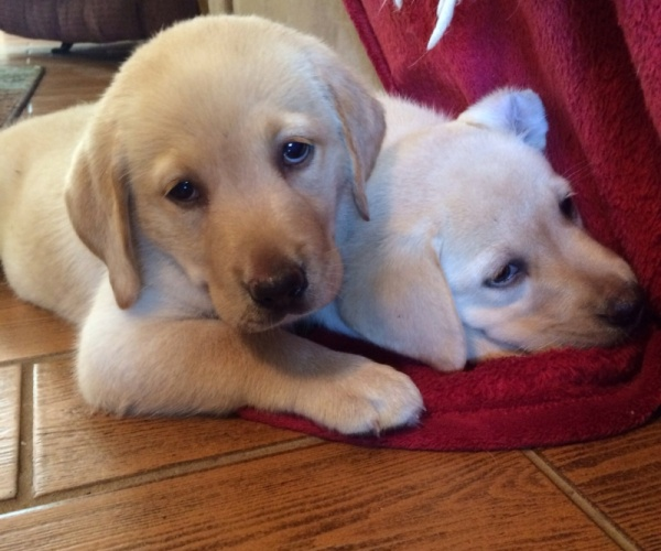 AKC yellow lab puppies - $400 | Pets and Animals in
